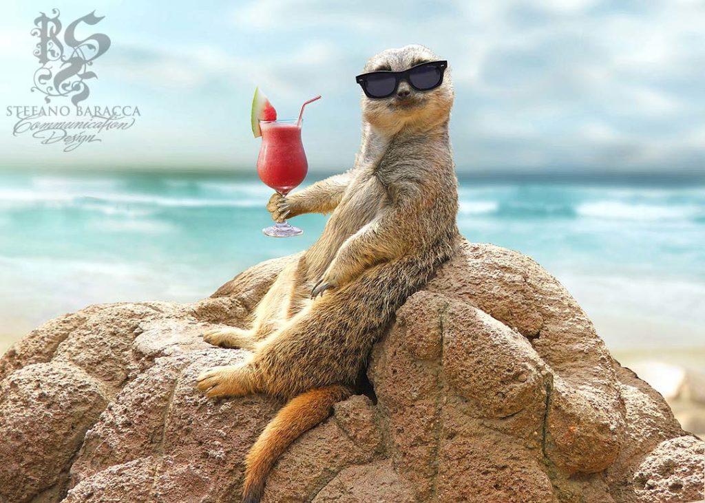 Suricato che beve un drink